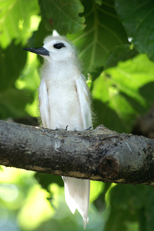 Feenseeschwalbe, Fairy Tern (Gygis alba) / Cousin