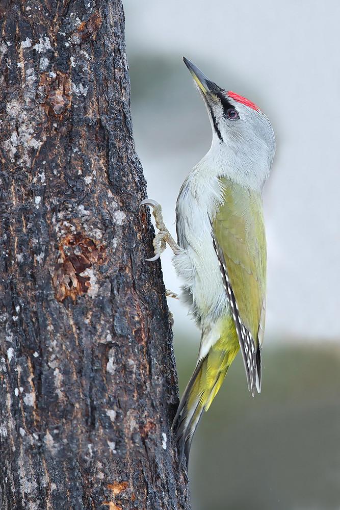 Grauspecht (Picus canus jessoensis)