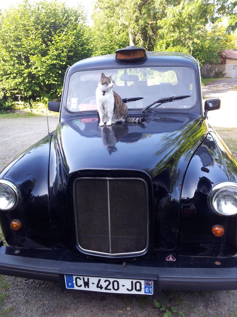 Même notre chat Caïd  est tombé amoureux  de notre taxi anglais