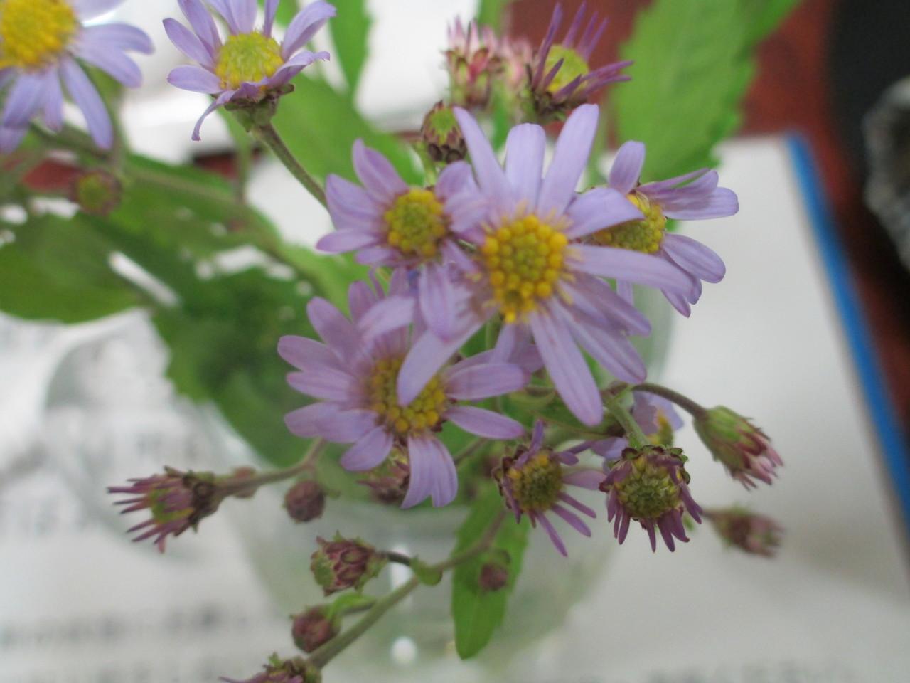 朝庭先で摘んだ野菊を前にアニーが「野菊」を独唱しました。