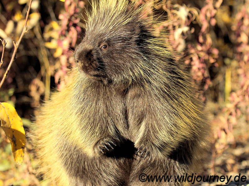 Porcupine, Stachelschwein, Yukon, Canada