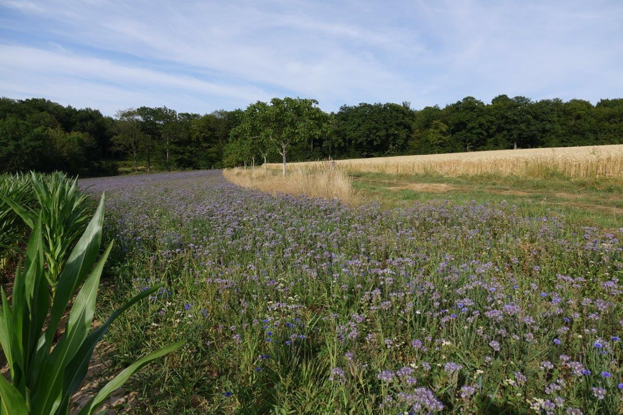 L'agriculteur a semé une autre jachère apicole en pointe près du champ de blé LU'Harmony.