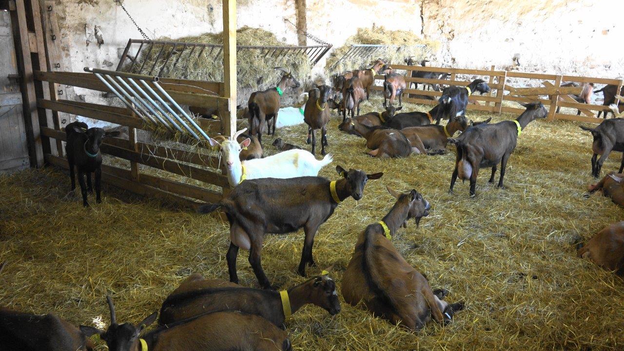 A la chèvrerie d'Hauche, quarante chèvres vaquent désormais à leurs occupations.