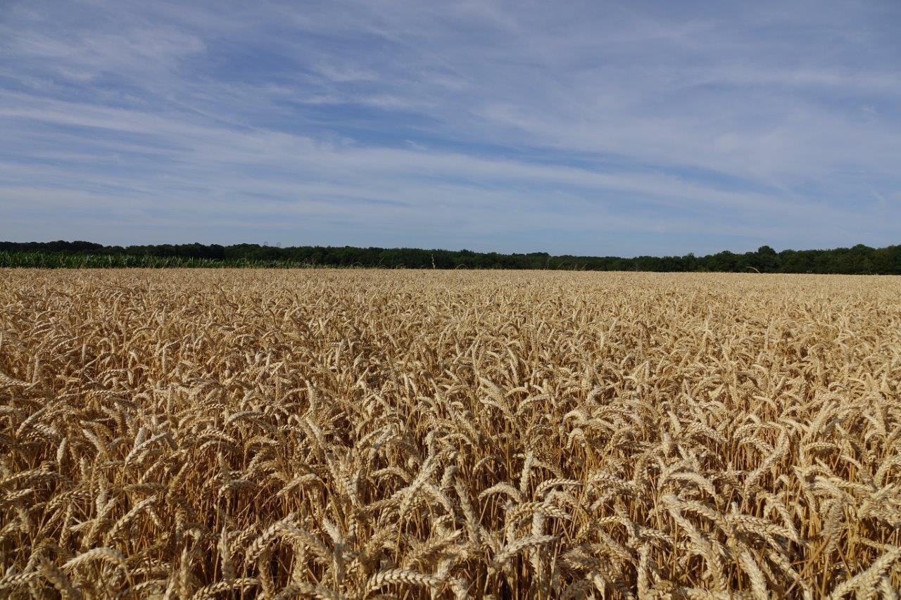 Une des parcelles d'Olivier Picart allouée au blé LU'Harmony.
