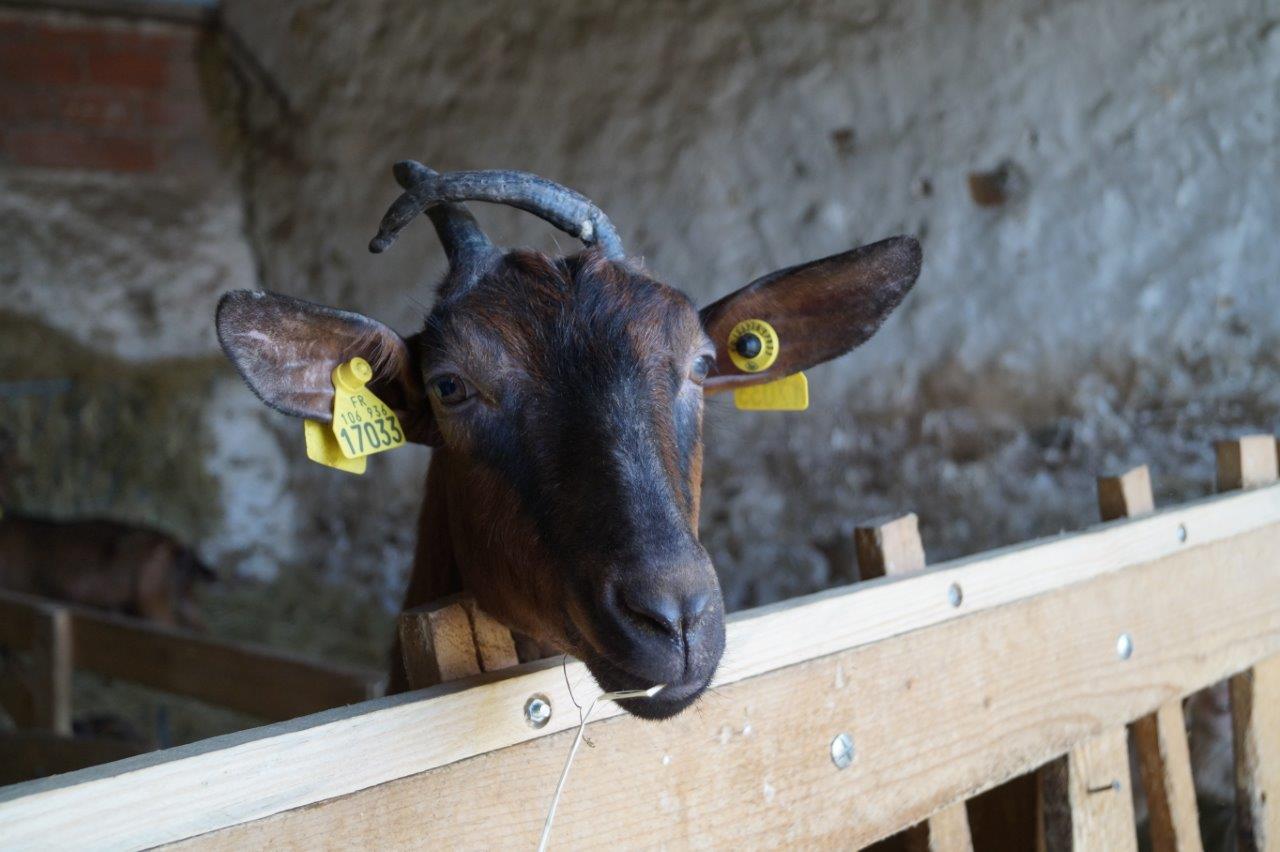 Les chèvres de race Alpine sont curieuses.