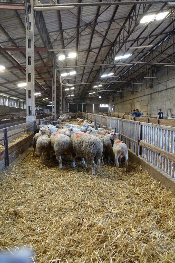 La bergerie est composée des races ovines Ile-de-France (360 têtes) et Solognote (40 têtes)...
