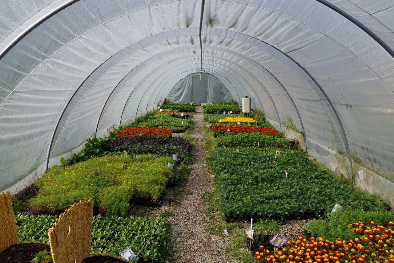 Le tunnel reçoit ensuite les plants destinés au repiquage dans les massifs de la commune.