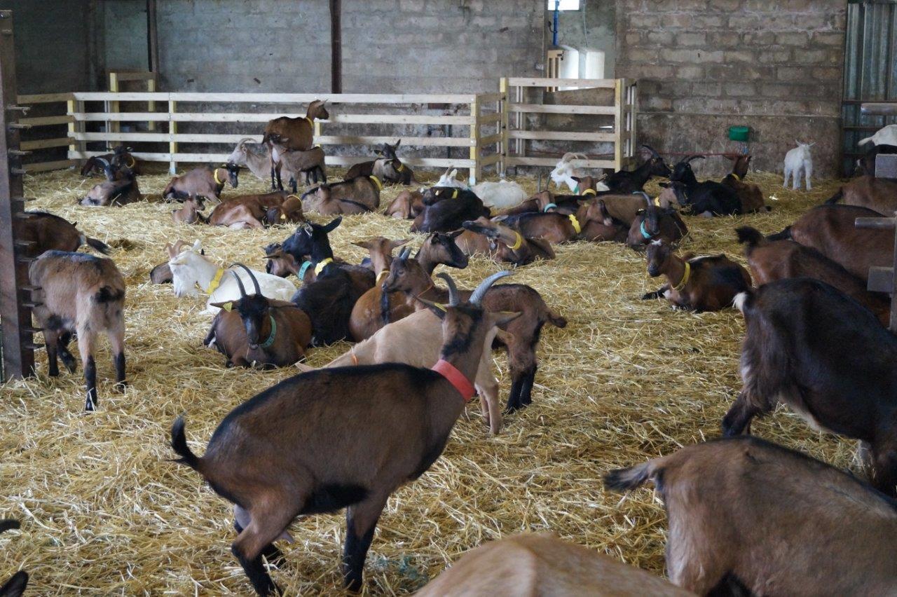 Les cinquante chèvres ont un vaste bâtiment pour vaquer à leurs occupations.