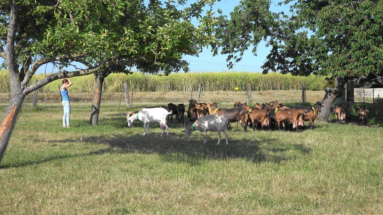 Il existe une grande complicité entre Marina et son troupeau de chèvres.