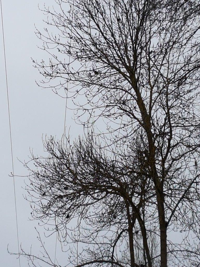 Au premier plan : en mars 2018, les branches de l'arbre flirtent toujours avec la ligne électrique...