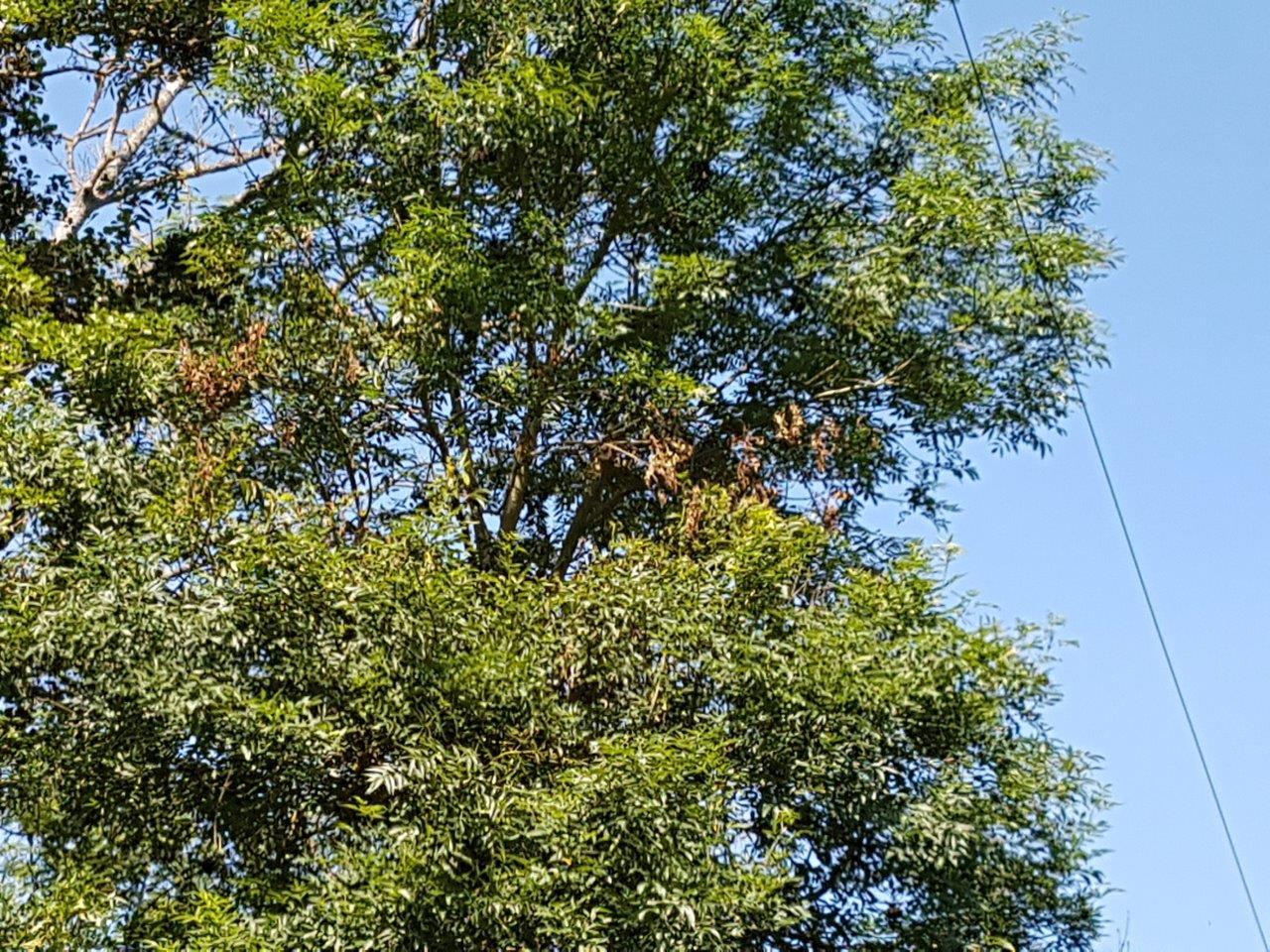En 2017, le frêne a eu chaud aux plumes...