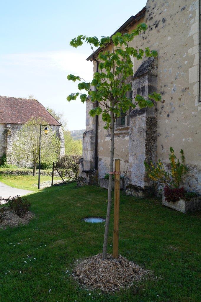 Tilleul à Baulne-en-Brie.