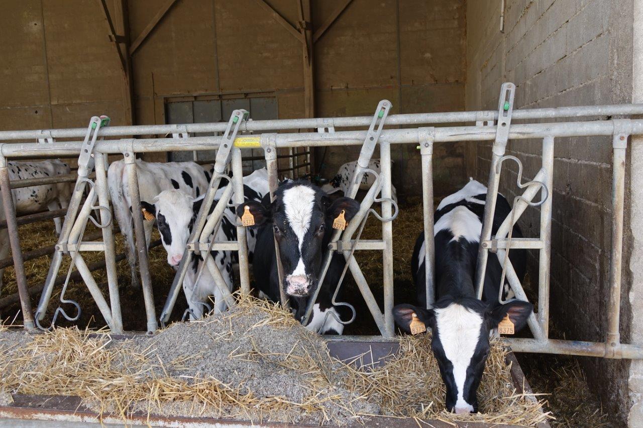 La race bovine Hol'stein forme le troupeau laitier utilisé pour les missions de l'enseignement agricole...
