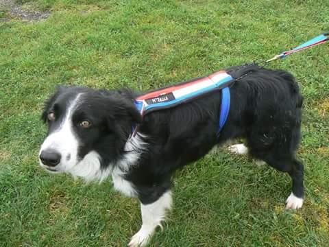 H'Zeus arbore son tout nouveau harnais de traction offert par l'entreprise alsacienne Conseils Canins.