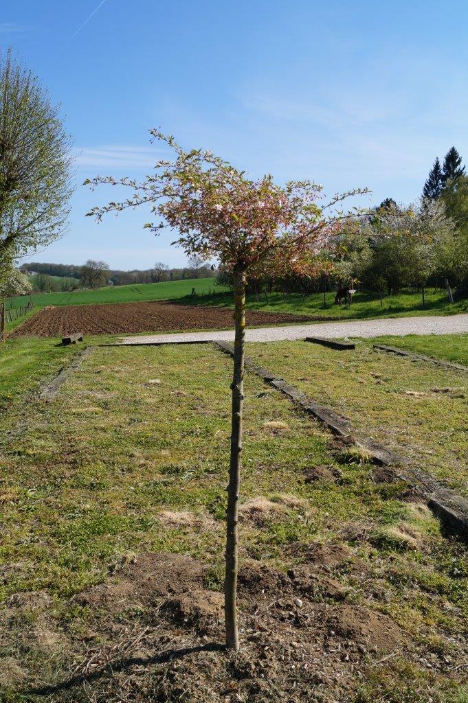 Prunus automnal à La Chapelle-Monthodon.