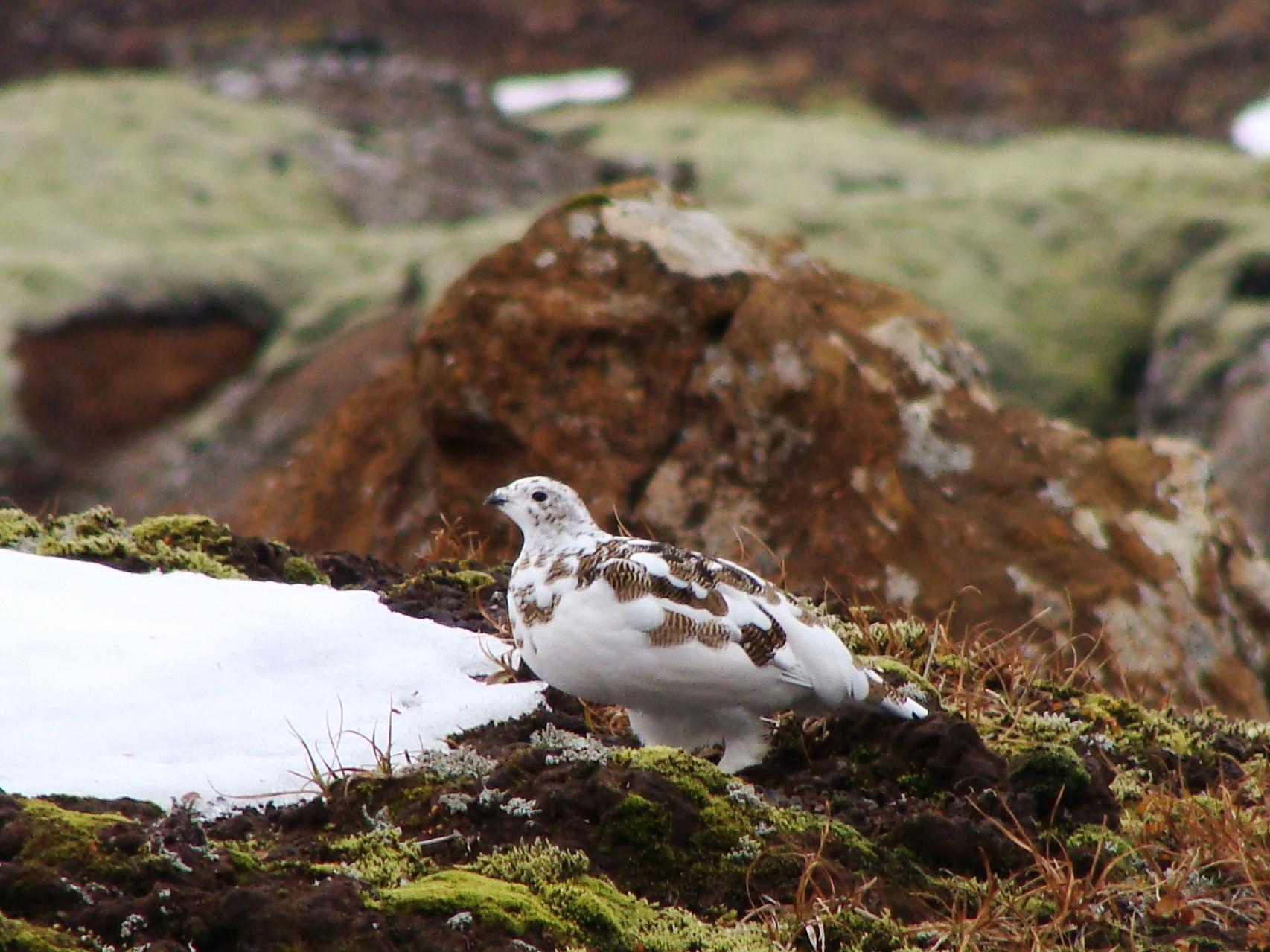 A snow pigeon?