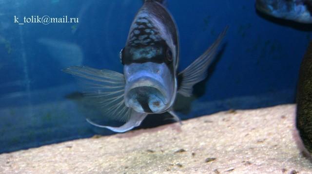 Cyphotilapia gibberosa blue Zaire Moba wild самец