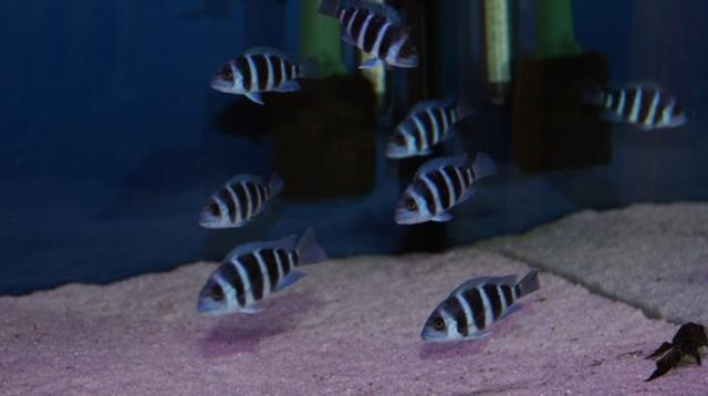 Cyphotilapia gibberosa blue Zaire Moba (подростки 6-7см)