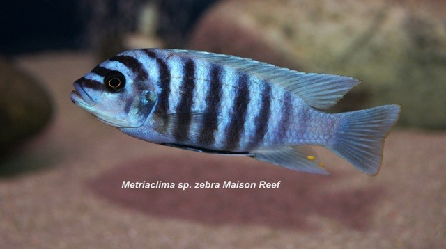 Metriaclima zebra 'Maison Reef'