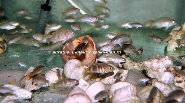 Neolamprologus multifasciatus большая группа