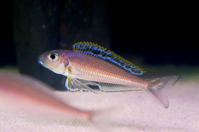Xenotilapia bathyphilus 'Congo' - доминирующий самец