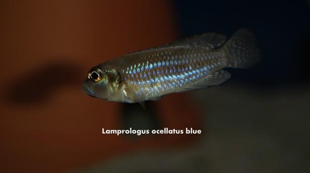 лампрологус, лампрологус оцелатус, лампрологус оцелатус блю, lamprologus, lamprologus ocellatus, lamprologus ocellatus blue