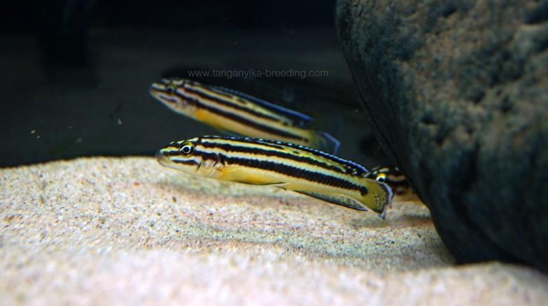 Julidochromis regani Kipili