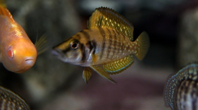 Altolamprologus calvus Yellow 5см (подросток самец)