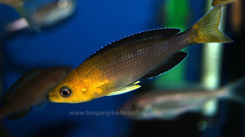 Cyprichromis leptosoma yellow head