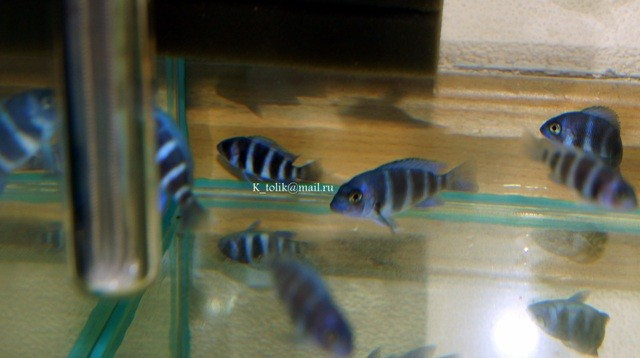 Cyphotilapia gibberosa blue Zaire Moba 3-4см