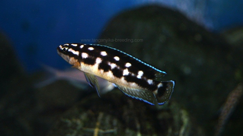 Julidochromis transcriptus Bemba