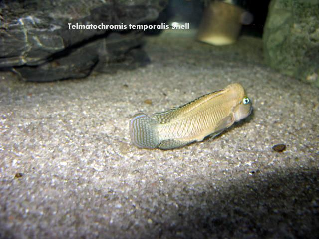 Telmatochromis temporalis Shell
