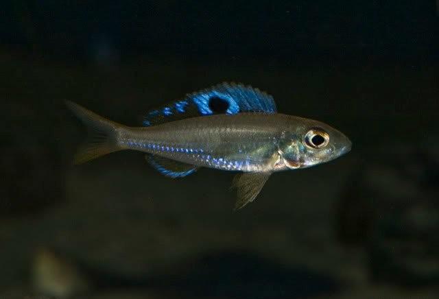 Ectodus, Ectodus descampsii