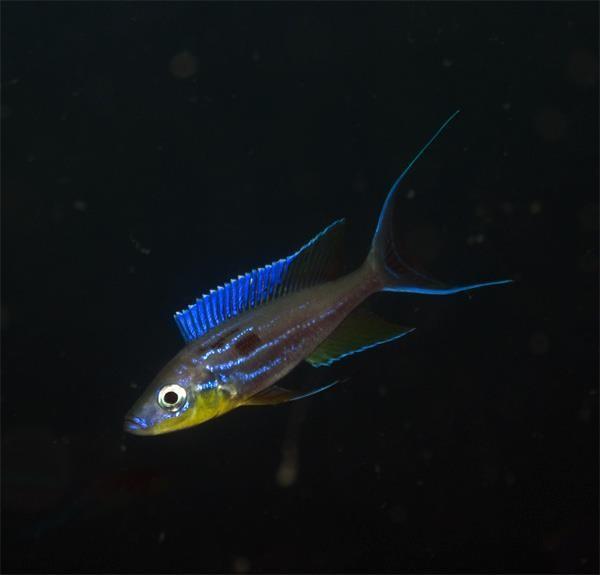 Bentochromis