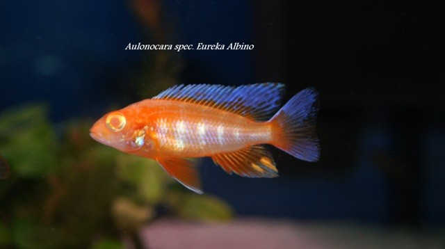 Aulonocara spec. Eureka Albino (молодой самец 6см)