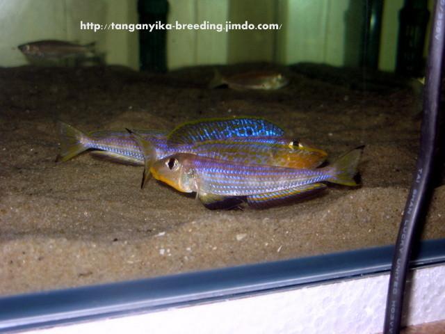 Enantiopus melanogenys Kilesa