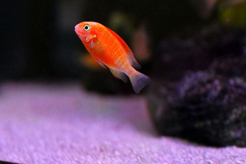 Aulonocara, Aulonocara sp., Aulonocara sp. fire fish