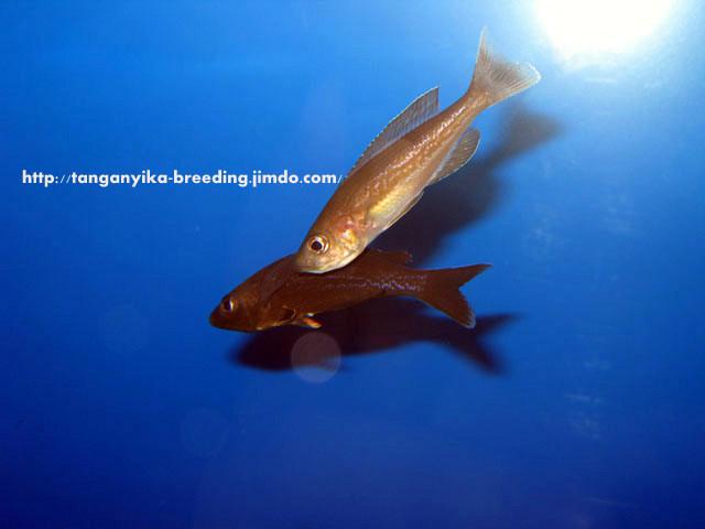 Cyprichromis microlepidotus Kiriza black нерест