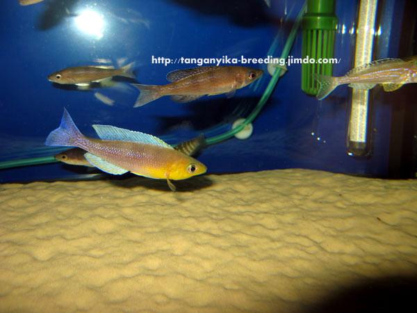 циприхромис, циприхромис лептозома, циприхромис лептозома кигома, циприхромис кигома, cyprichromis, cyprichromis leptosoma, cyprichromis leptosoma kigoma, cyprichromis kigoma