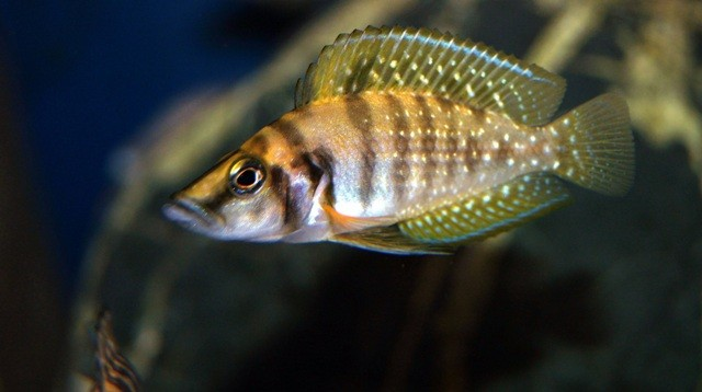 Altolamprologus calvus Yellow 4-5см