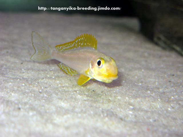 Xenotilapia papilio Сhituta (самка с игрой)