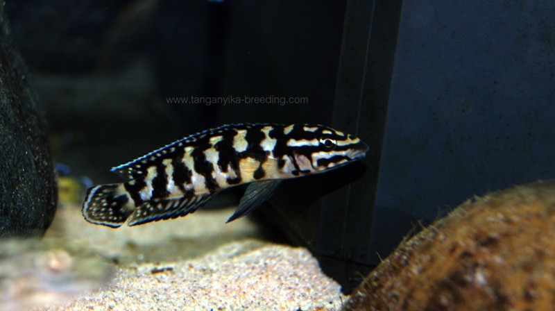 Julidochromis sp. Gombi