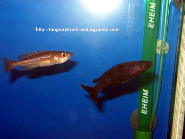 циприхромис, циприхромис микролепидотус, циприхромис микролепидотус кириза, циприхромис микролепидотус кириза блэк, cyprichromis, cyprichromis microlepidotus, cyprichromis microlepidotus kiriza, cyprichromis microlepidotus kiriza black