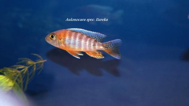 Aulonocara spec. Eureka (самец)