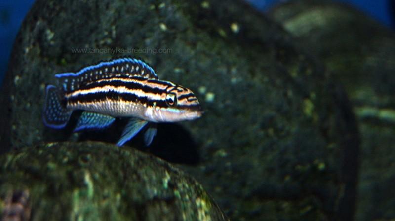 юлидохромис, юлидохромис дикфельда, julidochromis, julidochromis dickfeldi