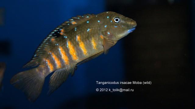 Tanganicodus irsacae Moba