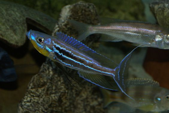 Benthochromis, Benthochromis tricoti, Benthochromis tricoti Burundi