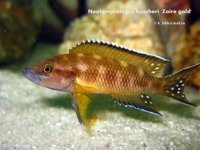 Neolamprologus buscheri 'Zaire gold'