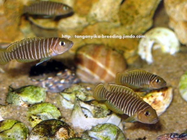 Lamprologus similis