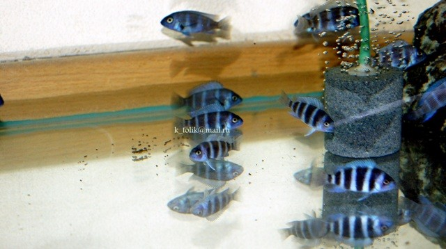 C. gibberosa blue Zaire Moba